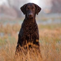 The Curly Coated Retriever is one of the oldest breeds classified as retrievers.
