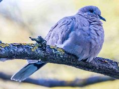 Turtledove bird