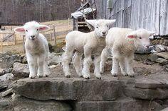 Precious little lambs!!