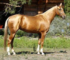 Akhal teke mare, Szajak. I love their metallic coats!!
