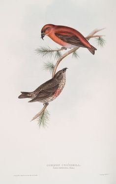 Common Crossbill, Gould depicted the very similar Himalayan subspecies in his books on Asian birds. New York Public Library, Zoology, Birds, Himalayan, Digital, Illustration, Animals, Asian, Vintage