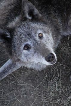 thatwanderinglonewolf:  Above the Timberline...Wolf by Lori Olson