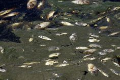 Mexico Dead Fish: Tens Of Thousands Of Carp And Bream Die In Reservoir (PHOTOS)