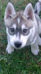Husky Pups, A Husky, Siberian Husky Puppies, Siberian Huskies, Husky Puppies For Sale, Snow Dogs, 8 Weeks, Foxes, Pet Care