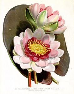Rose Coloured Variety of the Common Water Lily Nymphaea alba var rosea from Floral Prints by Joseph Paxton 1884