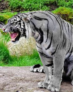Artist's conception of a Maltese tiger (sighting have been reported but never officially documented)