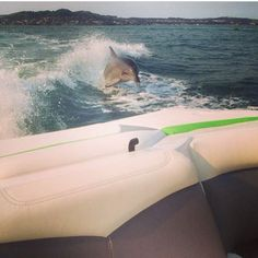 Everyone loves to wake surf behind the Tige Boat - R20 even Flipper.  Thank you to our ProWake customer in Australia @Cherie Morton for submitting this photo.