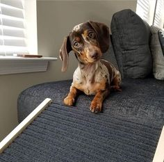 427285a36aba 23 Best Sausage Dog images   Sausage dogs, Dachshund dog, Dachshunds
