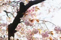 のんくり日和: 【谷中】STF 135mmを持って八重桜を撮りにお散歩に