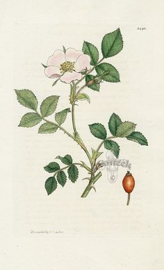 Sweet briar rose botanical print