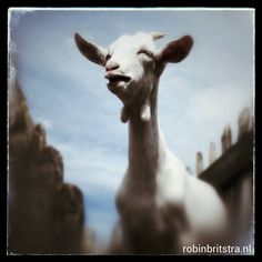 goat photo robin britstra