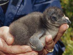 Fairy Penguin baby.