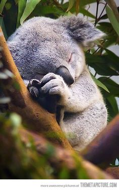 Its adorable until you know baby koalas eat their mums poop because at that age they cant digest eucalyptus leaves.