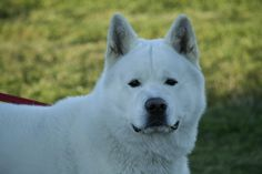 Beautiful white akita