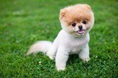 http://crazyhorsesghost.hubpages.com/hub/Is-Boo-The-Cutest-Dog-Ever