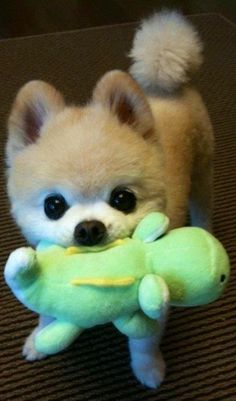 Pomeranian with toy Poms love their toys and drag one around with them all the time.