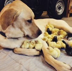This is the way we should raise male chicks :) instead of throwing them in the trash can.. as they get miss treated in the feeds there born in...