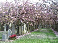 Allenvale Cemetery, Aberdeen. 'Victorian memorials beneath clouds of flowering cherry blossom.' (2014, Colin Smith)