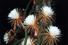 Selenicereus grandiflorus, or Moonlight Cactus, flowers once a year at night.