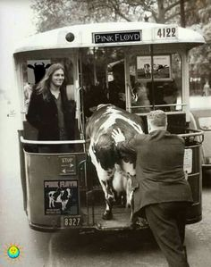 A bit of humour trying to get the cow on the tram during publicity for the Pink Floyd Atom Heart Mother album