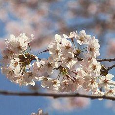 【honnowaka】さんのInstagramをピンしています。 《. . . . . . . #ファインダー越しの私の世界 #Canon#Photo#photographer #Instagram#Japan#instagramjapan#instagramers #カメラ女子#一眼レフ女子 #カメラ好きな人と繋がりたい #写真撮ってる人と繋がりたい#followme#like#東京カメラ部#Instagramjapan#桜#sakura》