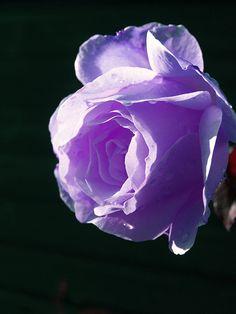 Red And White Roses Wallpaper Whiterose Redrose