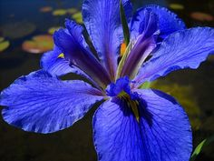 Pond and water gardening aquatic plants Pond Plants, Aquatic Plants, Water Hyacinth, Water Lilies, Container Pond, Japanese Iris, Slime Mould, Blue Daisy, Water Garden