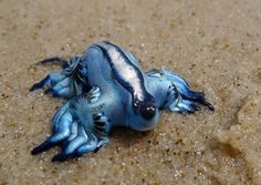 Glaucus atlanticus, my new favorite creature.
