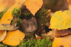 Bank vole in birch leaves