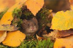 Bank vole in birch leaves