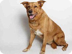 San Pedro, CA - German Shepherd Dog/Labrador Retriever Mix. Meet GINGER, a dog for adoption. http://www.adoptapet.com/pet/13351031-san-pedro-california-german-shepherd-dog-mix