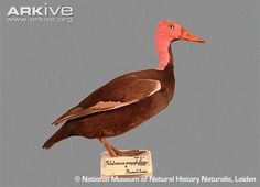 Pink-Headed Duck | Pink-headed duck (Rhodonessa caryophyllacea), believed extinct since the 1950s.  A large diving duck, though unconfirmed sightings have been claimed since that time.