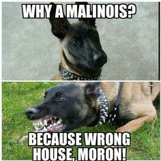 Perfect explanation Military Working Dogs, Military Dogs, Police Dogs, Belgium Malinois, Belgian Malinois Dog, Belgian Shepherd, German Shepherd Dogs, German Shepherds, Funny Dogs