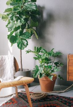 Hola fiddle leaf fig! You're still a thing? You look magnificent against the mushroom walls & neutral tones.