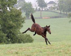 Baby Z- Zenyatta's foal on the run.