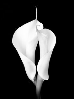 Two White Calla Lilies Photographic Print.I love Calla Lilies! Lys Calla, Calla Lillies, Lilies Flowers, Black White Photos, Black And White Photography, Black And White Flowers, Framed Canvas Prints, Mode Style, Black Backgrounds