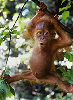 baby-orangutan, something makes me love this little critter! Primates, Cute Creatures, Beautiful Creatures, Animals Beautiful, Cute Baby Animals, Animals And Pets, Funny Animals, Exotic Animals, Wild Animals