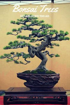 A wicked cool bonsai tree. Can you believe this art form started over 1300 years ago? See more bonsai trees at http://www.nurserytreewholesalers.com/