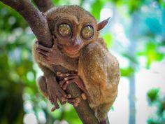 Tarsier Bohol, Philippines by Ricky Apalisok Zipline Adventure, Bohol Philippines, World's Smallest, Photo Work, Island Tour, Tourist Spots, Primates, Small World, Day Tours