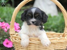 Marissa, Cava-Tzu puppy for sale from Narvon, PA