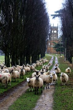 Sheep parade in Stowe, Buckinghamshire, England. England Ireland, England And Scotland, England Uk, Amiens, The Fox And The Hound, Destinations, English Countryside, British Isles, Great Britain