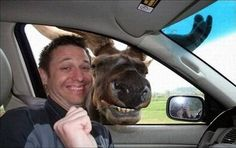 Car Rides Are Fun, even for a Moose!!  Notice how their smiles match!!  Photo-shopped, or not, it IS something to bring a smile to your face!!