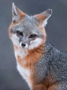 Grey Fox in Grey by © tinmanlee