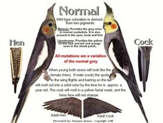 How to tell a male cockatiel from a female.