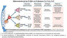 Resultado de imagen de Linfocitos T helper cd4