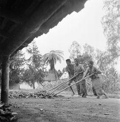 Drie inlandse werknemers vegen op een plantage nabij Malang de bast van kinabomen bij elkaar, Indonesië (1947)