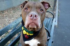 TWIX – A1095282  **SAFER: EXPERIENCED HOME**  NEUTERED MALE, RED / WHITE, AM PIT BULL TER MIX, 10 yrs OWNER SUR – EVALUATE, NO HOLD Reason PERS PROB Intake condition EXAM REQ Intake Date 10/30/2016, From NY 10453, DueOut Date 10/30/2016,
