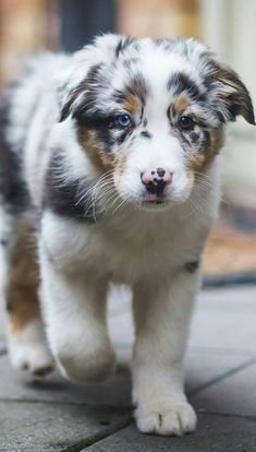Australian Shepherd Puppy via @KaufmannsPuppy #australianshepherdpuppy