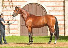 Quadrofino   Dt. Sportpferd V: Quaterback MV: Paradiesvogel  *2008, Braun Stm. 166 cm