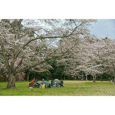 Reposting @jerfareza: Picnic under the sakura is the best! Sadly that's not me.. 😂 . . #japan #picnic #beautiful #travel #liburan #nikon #outdoors #nature #photooftheday #sakura #igers #scenery #happy #amazing
